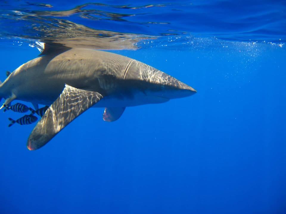 dive pro-destination-shark