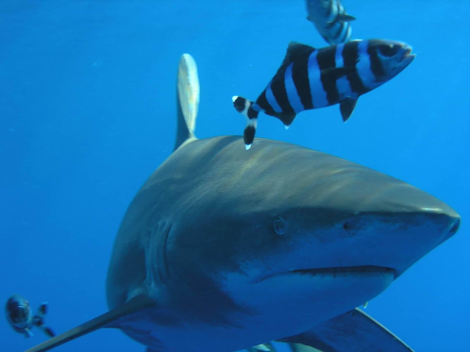 Egypt-REDSEA-Hurghada-DivePro-Academy-Scuba-Diving-Center-Big-Shark