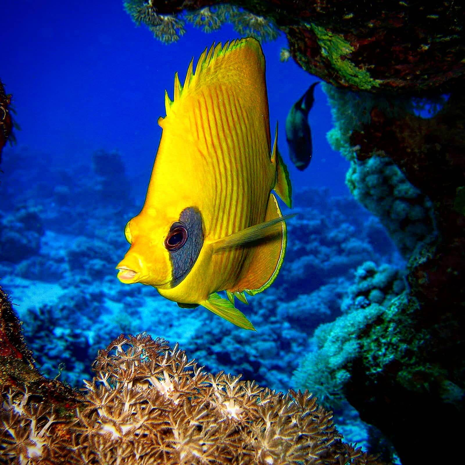 Egypt-REDSEA-Hurghada-DivePro-Academy-Scuba-Diving-Center-Butter-Fly-Fish