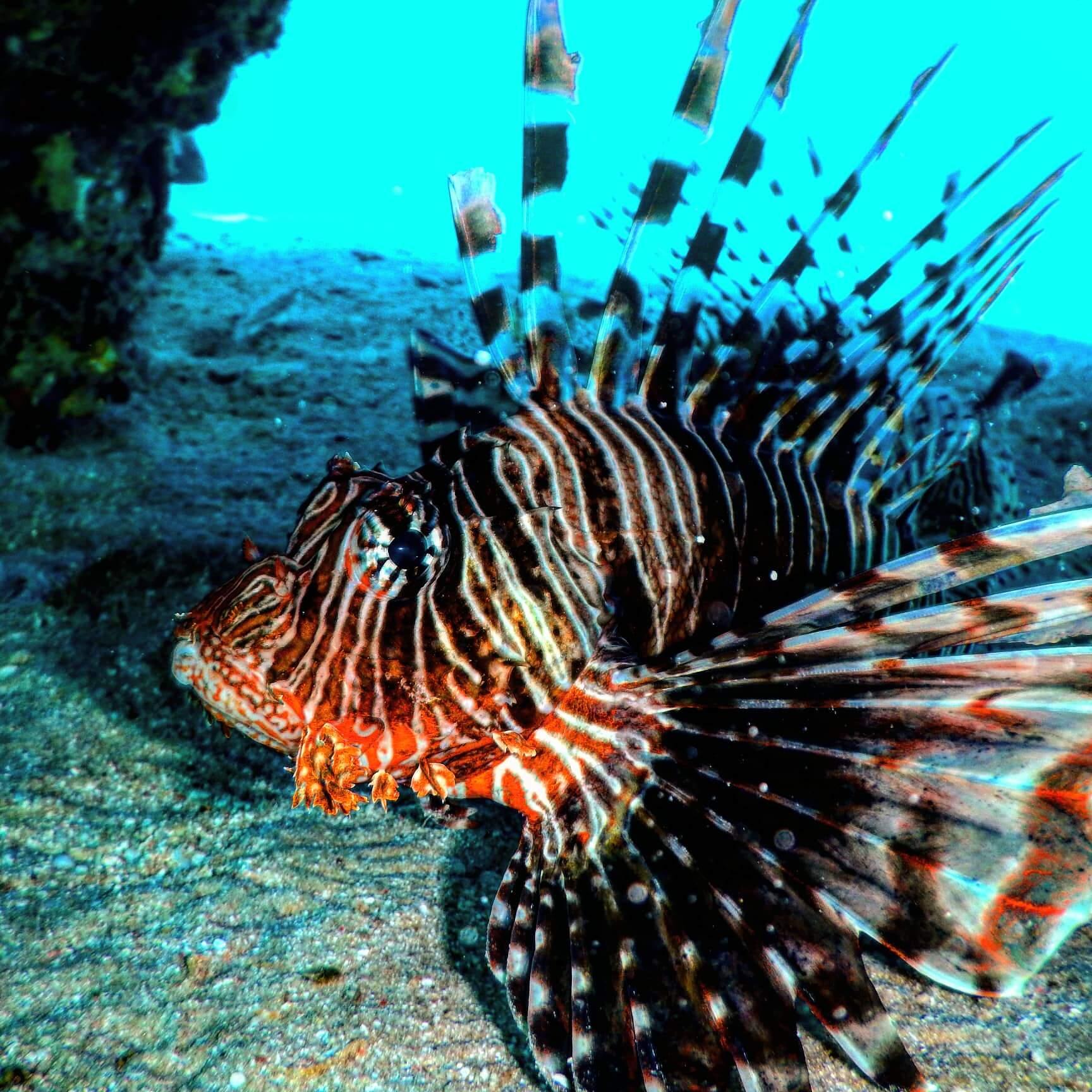 Egypt-REDSEA-Hurghada-DivePro-Academy-Scuba-Diving-Center-Lion-Fish
