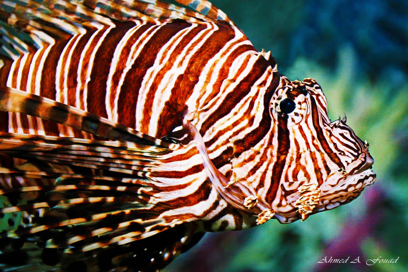 Egypt-REDSEA-Hurghada-DivePro-Academy-Scuba-Diving-Center-Lion-Fish-3