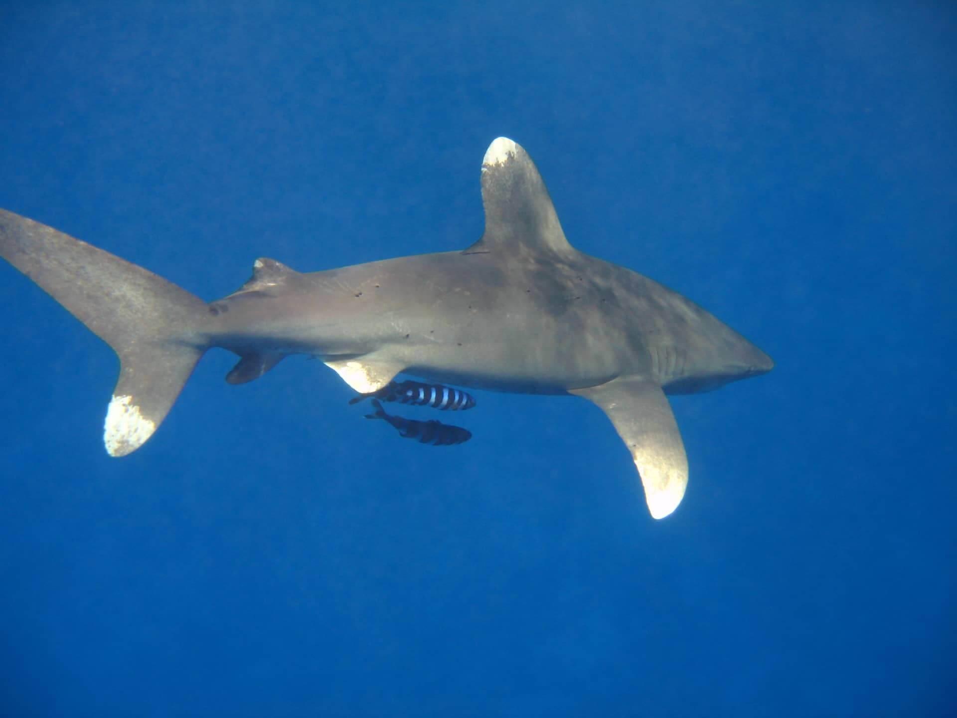 Egypt-REDSEA-Hurghada-DivePro-Academy-Scuba-Diving-Center-Shark-2