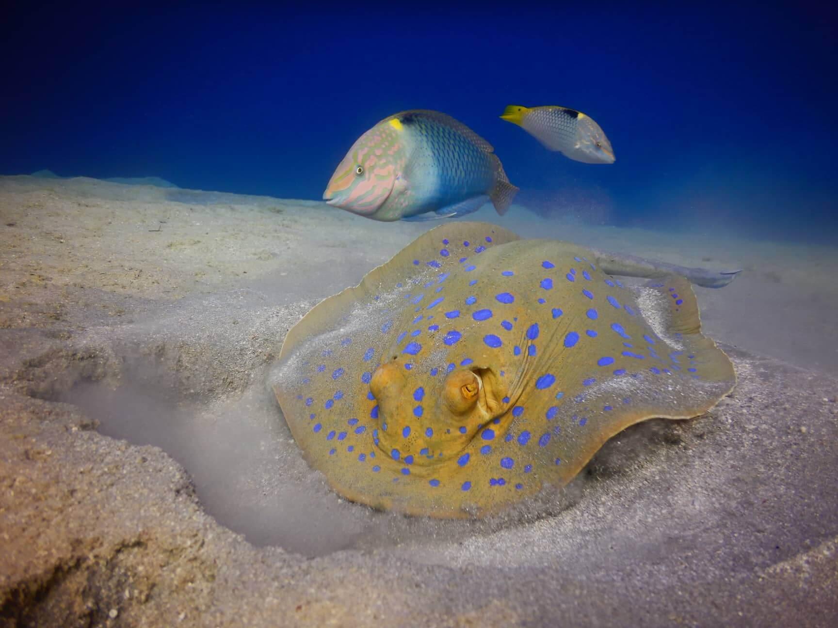 Egypt-REDSEA-Hurghada-DivePro-Academy-Scuba-Diving-Center-Stingray-2