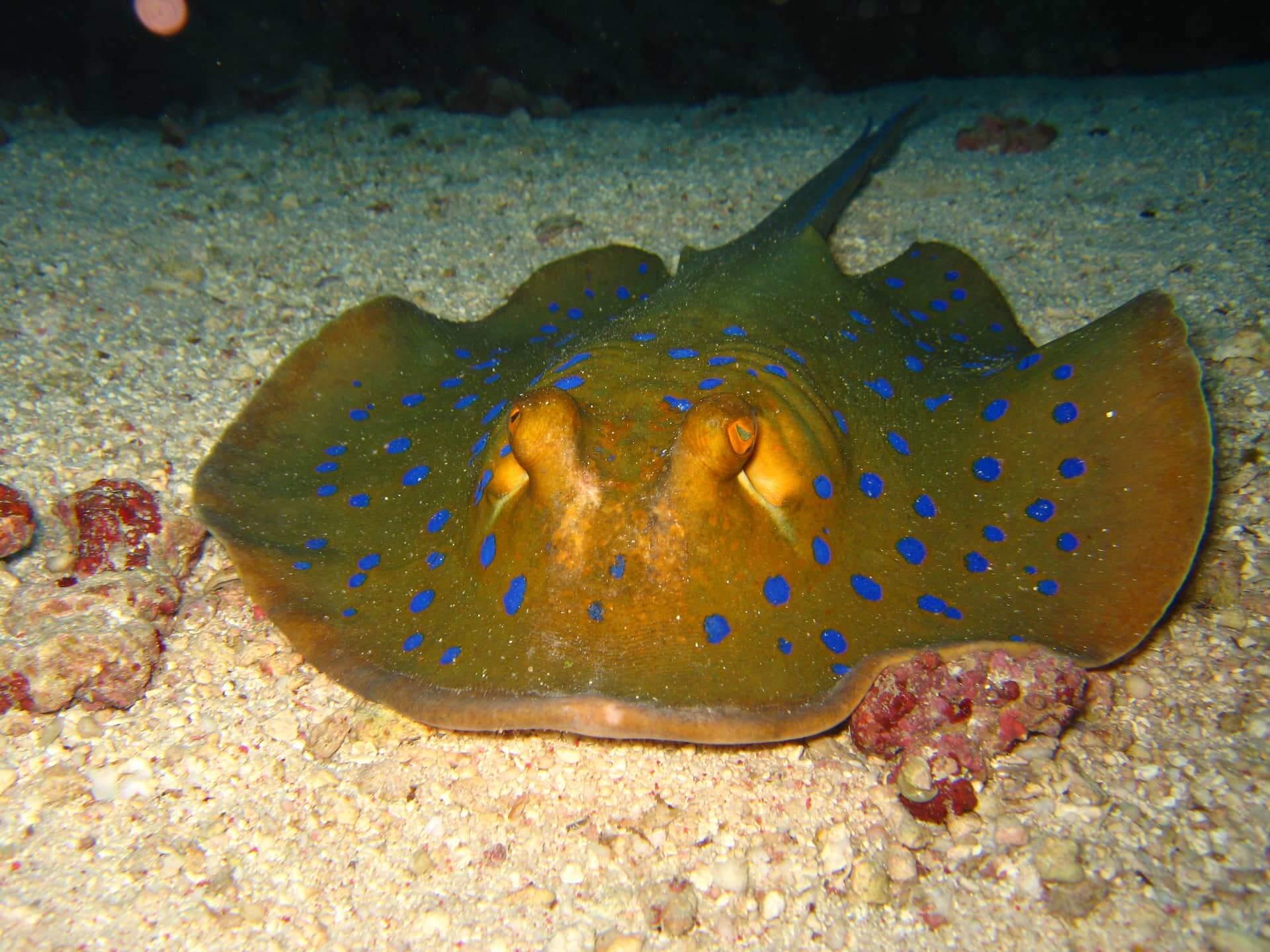 Egypt-REDSEA-Hurghada-DivePro-Academy-Scuba-Diving-Center-Stingray