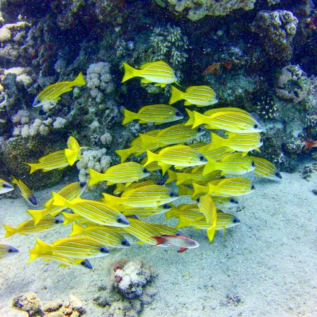 Egypt-REDSEA-Hurghada-DivePro-Academy-Scuba-Diving-Center-Yellow-Fish
