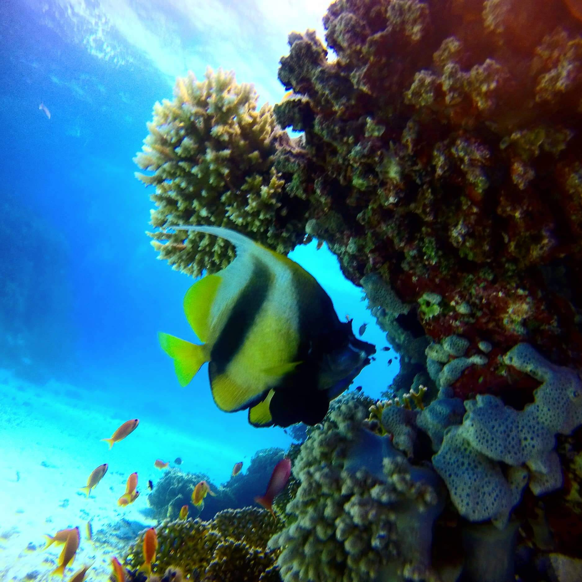 Egypt-REDSEA-Hurghada-Divepro-Academy-Diving-Center-ButterFly2-Fish