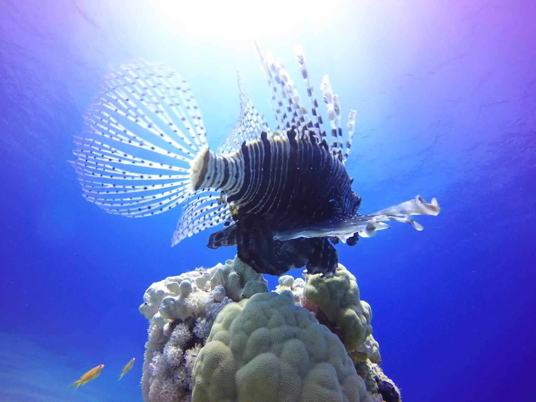 Egypt-REDSEA-Hurghada-Divepro-Academy-Diving-Center-Lion-Fish-4
